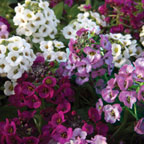 alyssum clear crystal