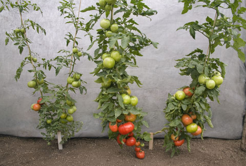 grafted tomatoes