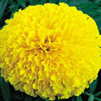 Marigold Galore