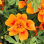 Marigold Gem