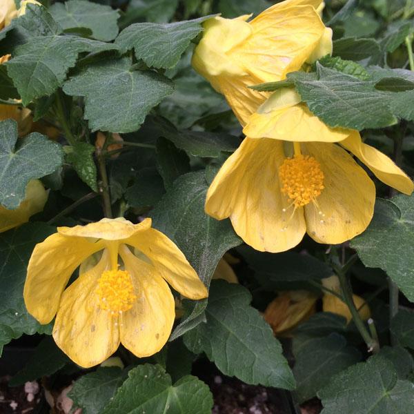 Abutilon 'Lucky Lantern Yellow'