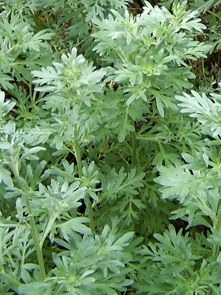 ARTEMISIA Wormwood (Artemisia absinthiumn)