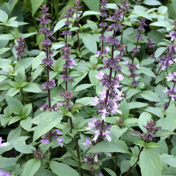Basil 'Thai' (Ocimum sp.)