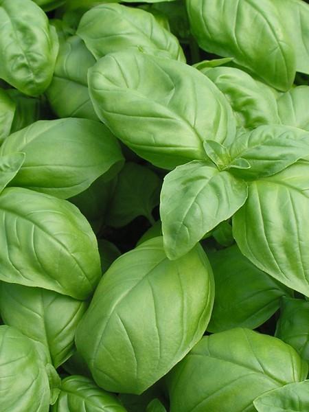 Basil 'Genovese' (Ocimum basilicum)
