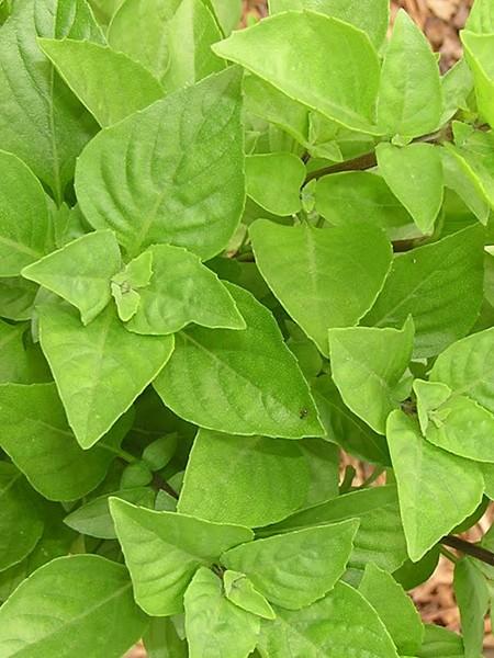 Basil 'Greek Columnar' (Ocimum basilicum)