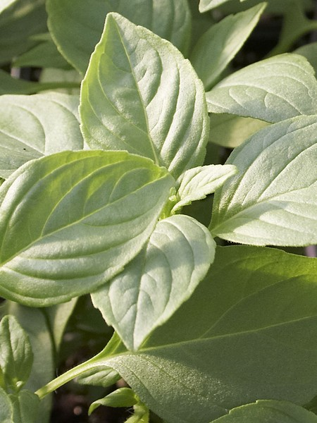 Basil 'Mrs. Burn's Lemon' (Ocimum basilicum citriodorum)