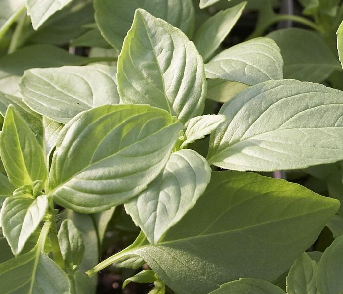 Basil 'Mrs. Burn's Lemon' (Ocimum basilicum citriodorum)