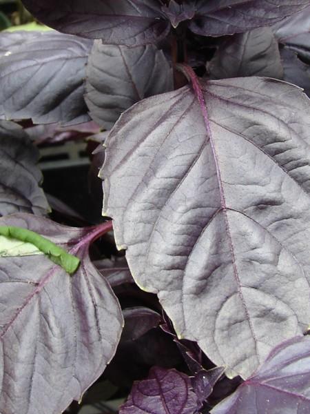Basil 'Red Rubin' (Ocimum basilicum purpurascens)