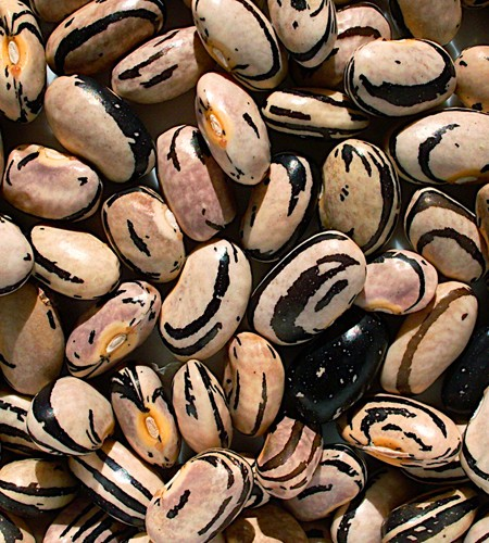 Heirloom Bean 'Peregion' Dry Bush Bean