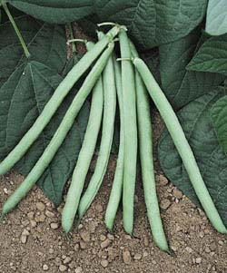 Heirloom Bean 'Blue Lake Bush' Snap Bush Bean
