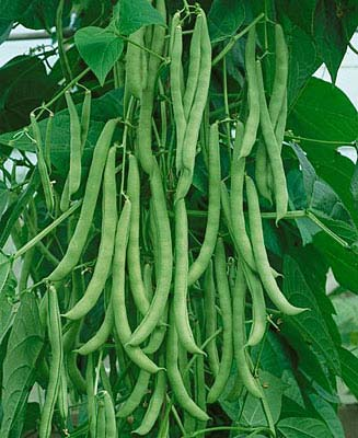 Heirloom Bean 'Kentucky Wonder Pole' Snap Pole Bean