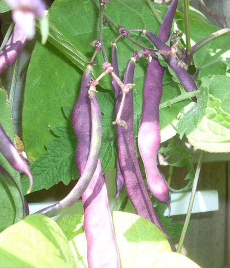 Heirloom Bean 'Purple Podded' Snap Pole Bean