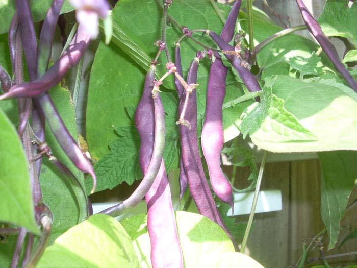 Heirloom Bean 'Purple Podded' Snap Pole Bean