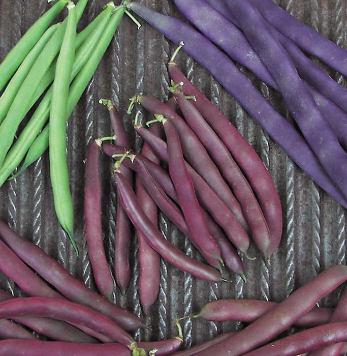 Heirloom Bean 'Red Swan' Snap Bush Bean