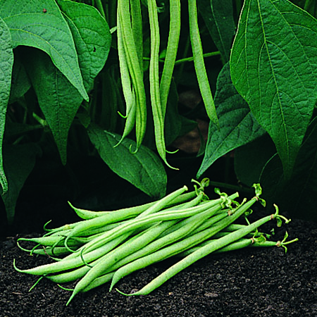 Heirloom Bean 'Tavera' Filet Bean