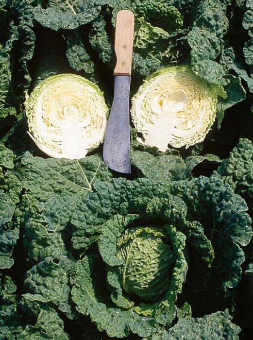 Cabbage 'Mini Alcosa Savoy'