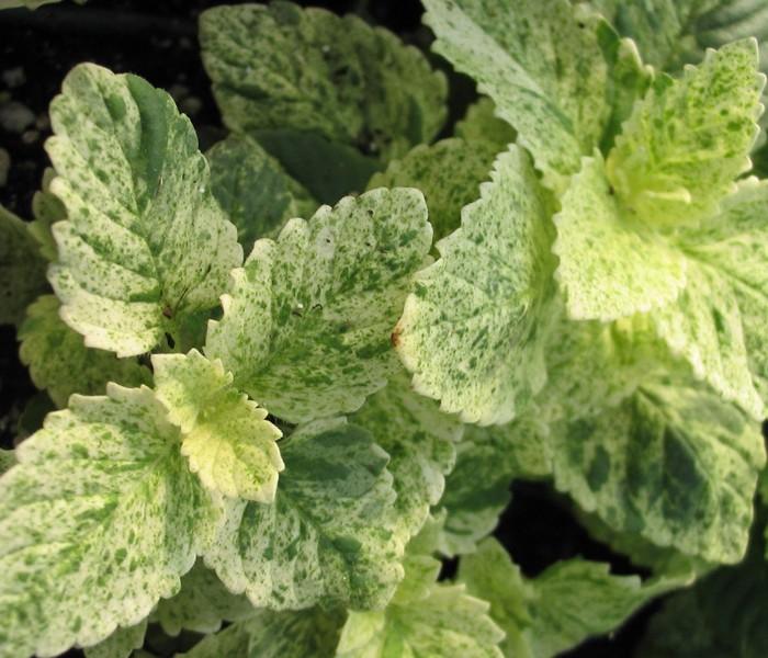 Calamint Variegated (Calamintha grandiflora)