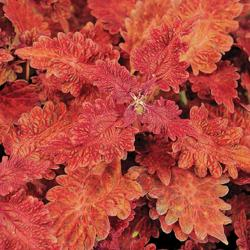 Coleus 'Stained Glass Copper', Tall