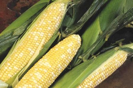 Corn 'Delectable' Bicolor
