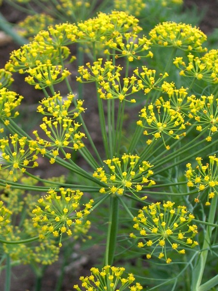 Dill for Weed 'Superdukat' (Anethum graveolens)