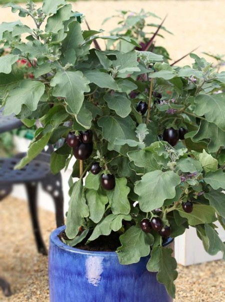 Eggplant Pot Black