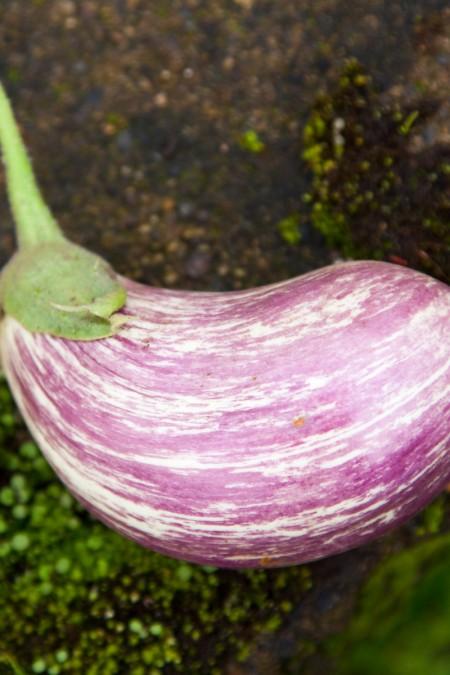 Eggplant 'Listada de Gandia'