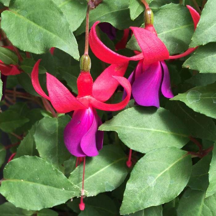 Upright fuchsia 'Violet and Red'