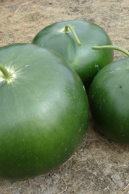 Decorative Gourd 'Bushel' Large Gourd
