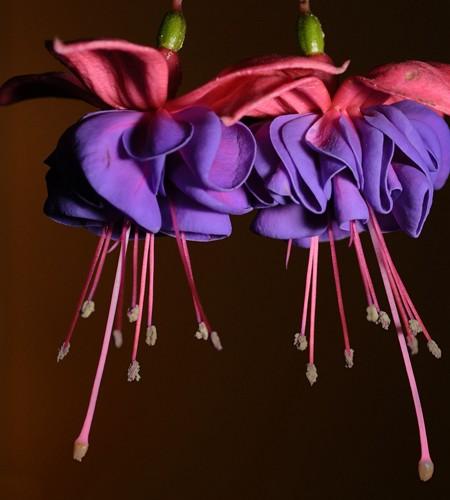 Hardy fuchsia 'Exoniensis'