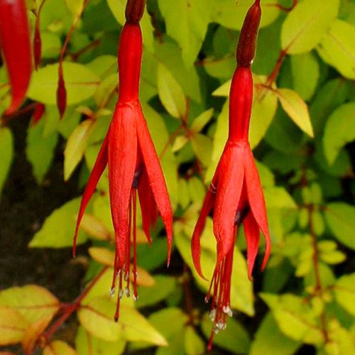 Hardy Fuchsia Magellanica Aurea