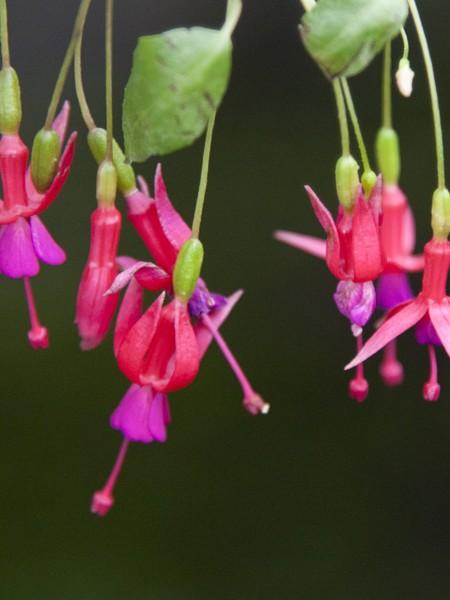 Hardy Fuchsia Rosea