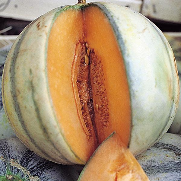 Heirloom Melon 'Charentais' True Cantaloupe