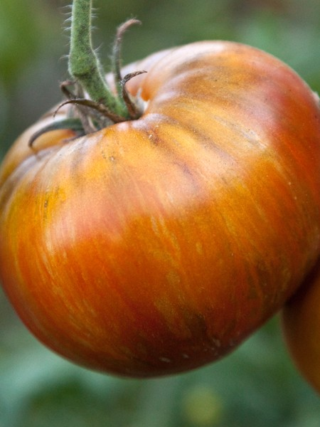 Tomato Wild Boar Farms Hybrid 'Large Barred Boar'