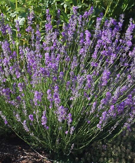 Lavender 'Dwarf Blue' (Lavandula angustifolia)