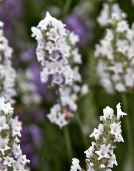 Lavender 'Edelweiss' (Lavandula x intermedia)