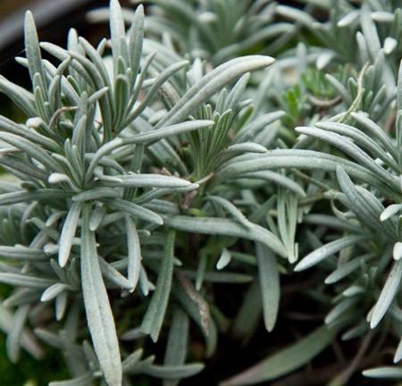 Lavender 'Fred Boutin' (Lavandula x intermedia)