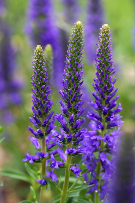 Lavender 'Grosso' (Lavandula x intermedia)