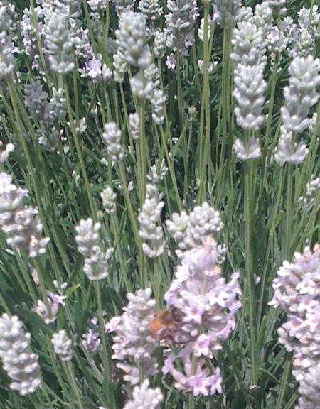 Lavender 'Hidcote Pink' (Lavandula angustifolia cv.)