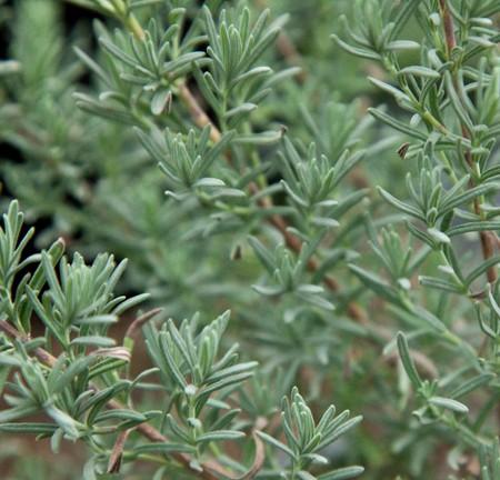 Lavender 'Otto Quast' (Lavandula stoechas)