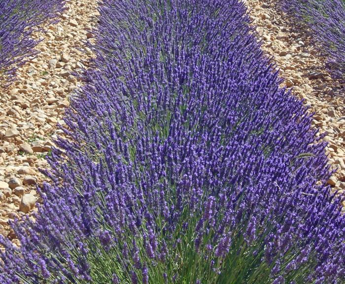 Lavender provence lavandula x intermedia