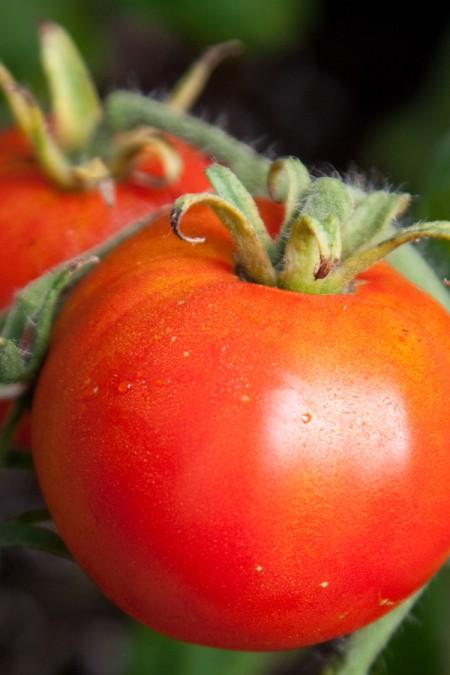 Tomato 'Legend'
