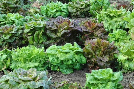 Lettuce 'Freedom Mix'