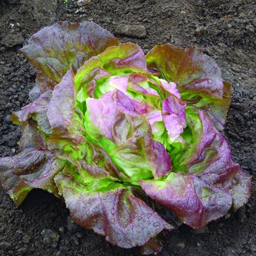 Lettuce 'Skyphos' Red Butterhead