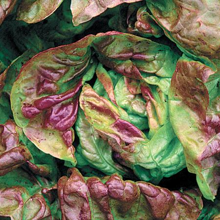 Lettuce 'Yugoslavian Red' Butterhead