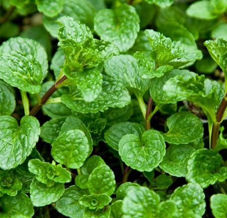 Mint 'Butter' (Mentha spicata)