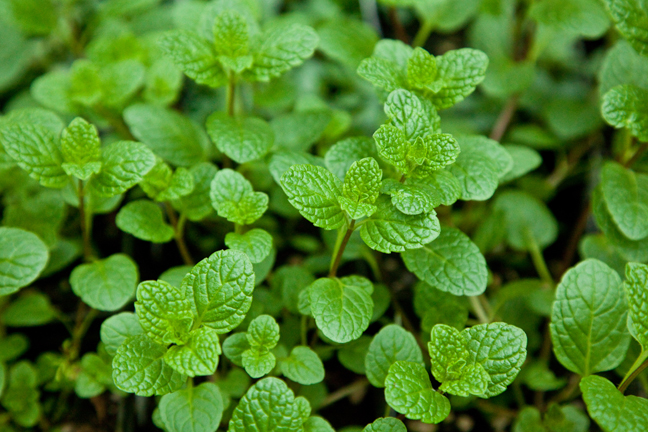 Mint 'Julep' (Mentha species)