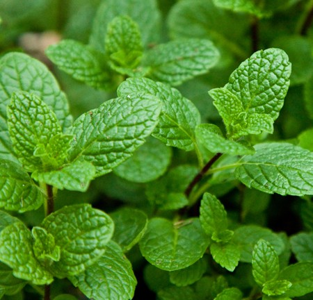 Mint &#039;Native&#039; spearmint (Mentha spicata)