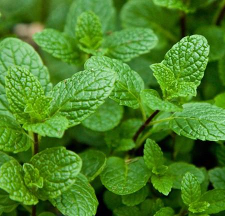 Mint 'Native' spearmint (Mentha spicata)