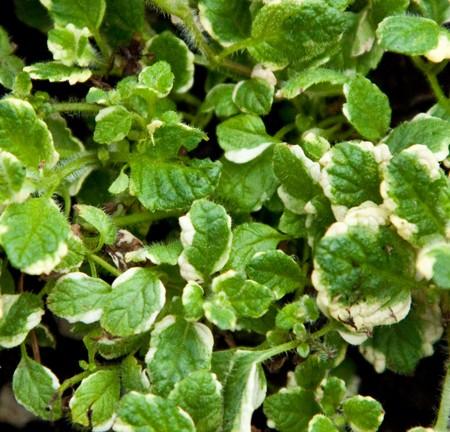 Mint 'Pineapple' (Mentha suaveolens variegata)