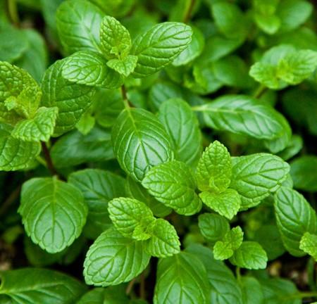 Mint 'Spearmint' (Mentha spicata)